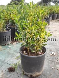 ALACALI TAFLAN (Euonymus japonica aurea) FİDANI - Thumbnail