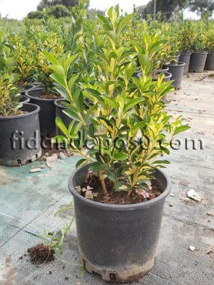 - ALACALI TAFLAN (Euonymus japonica aurea) FİDANI