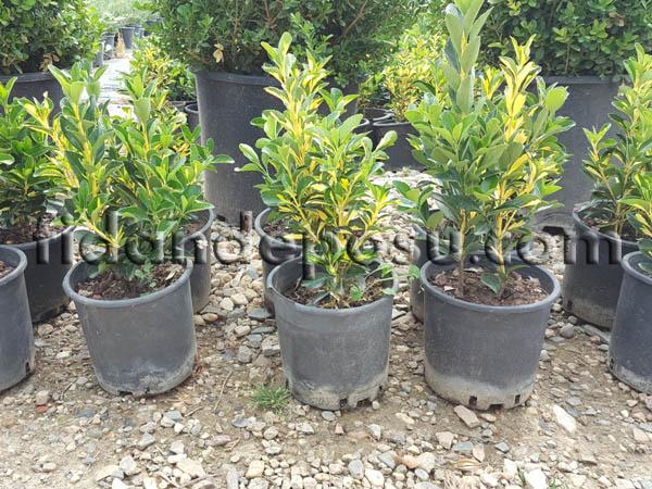 ALACALI TAFLAN (Euonymus japonica aurea) FİDANI
