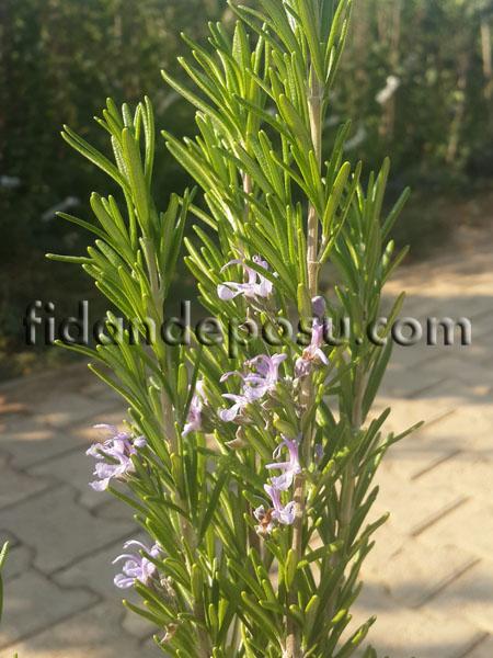 BİBERİYE (KUŞDİLİ) (Rosmarinus Officinalis) FİDANI