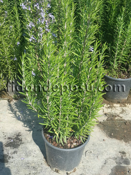 BİBERİYE (Rosmarinus Officinalis) FİDANI