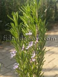 - BİBERİYE (Rosmarinus Officinalis) FİDANI