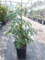 ÇİLEK AHUDUDU (Rubus Rosifolius) FİDANI - Thumbnail