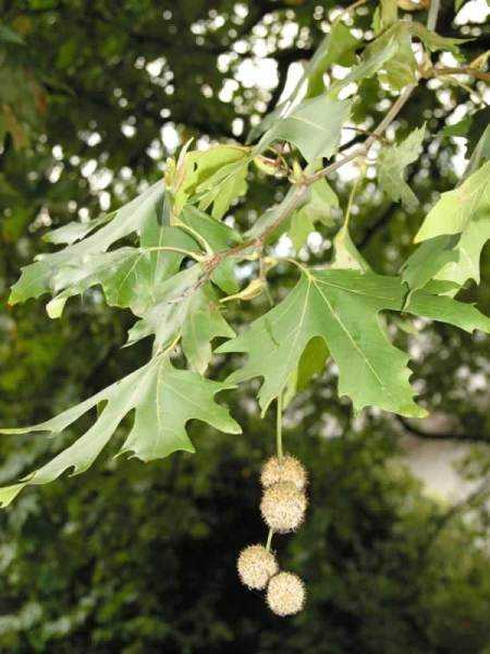 DOĞU ÇINARI (Platanus orientalis) FİDANI
