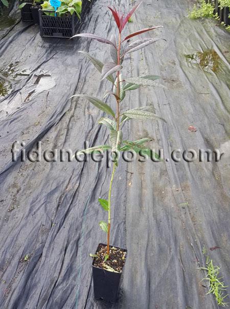 GxN (Garnem) Yarı Bodur Şeftali-Badem Anacı