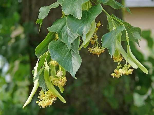 IHLAMUR (Tilia Platyphyllos) FİDANI