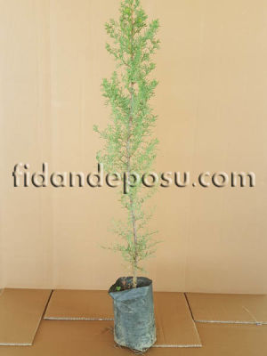 - KARA SELVİ (MEZARLIK SELVİSİ) (Cupressus Sempervirens) FİDANI