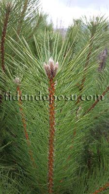 - KARAÇAM (Pinus Nigra) FİDANI