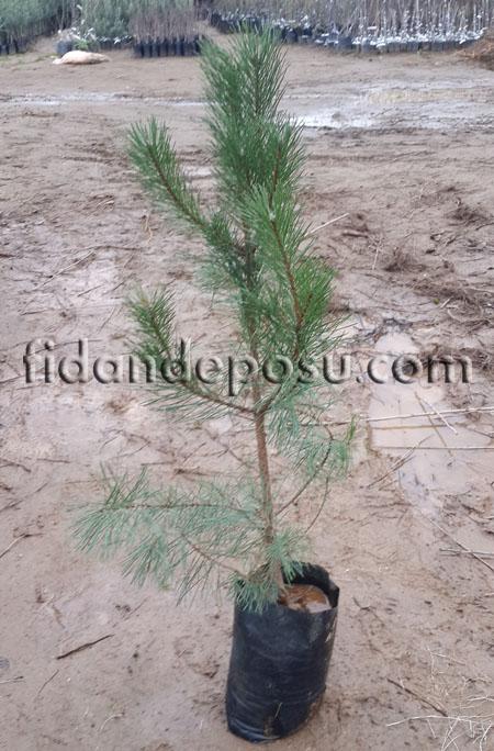 KARAÇAM (Pinus Nigra) FİDANI