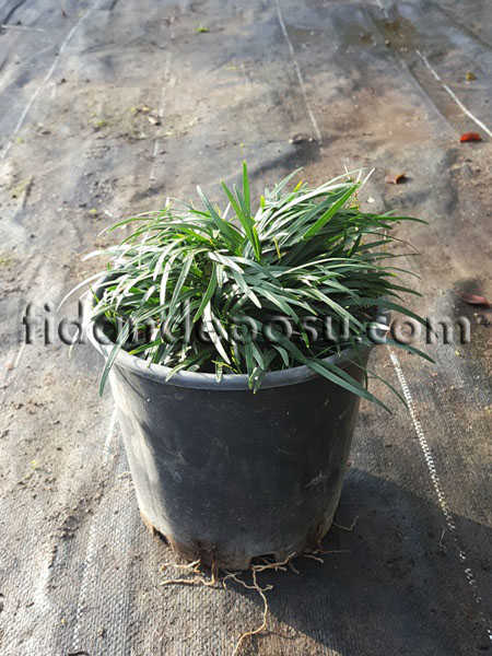 OSMANLI ÇİMİ (Ophiopogon japonicus)