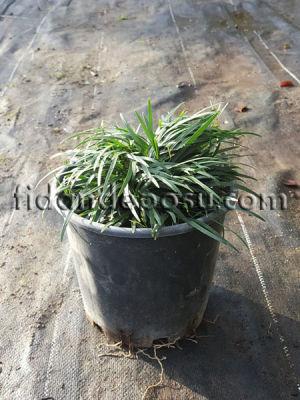 - OSMANLI ÇİMİ (Ophiopogon japonicus)