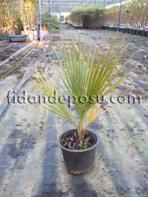 - PALMİYE (Washingtonia Robusta) FİDANI
