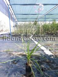 SARIMSAK ÇİÇEĞİ (Tulbaghia violacea - Society Garlic) FİDANI - Thumbnail