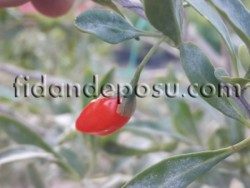 - SWEETBERRY GOJİBERRY FİDANI
